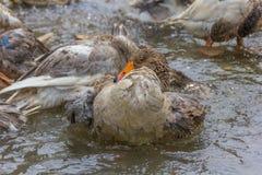 Гусыня Greylag прихорашиваясь и брызгая в воде стоковые изображения