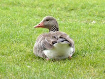 Гусыня Greylag сидя в траве Стоковая Фотография