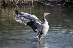 Гусыня Greylag суша свои крыла Стоковое Фото