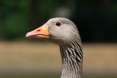 Гусыня Greylag Стоковая Фотография