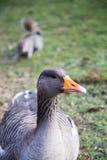 Гусыня Greylag - anser Anser Стоковые Фото