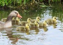 Гусыня greyleg gans Grauwe с младенцами Стоковое Фото