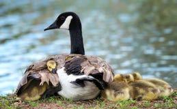 Гусята гусыни Канады snuggling с матерью Стоковая Фотография