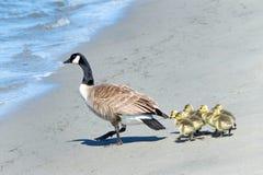 Гусята гусыни Канады ведущие, который нужно намочить через пляж Стоковое фото RF