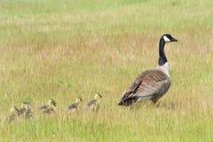 Гусята гусыни матери ведущие через травянистое поле Стоковое Фото