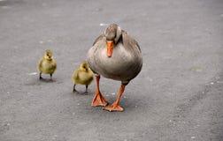 гусята гусыни Стоковое Фото