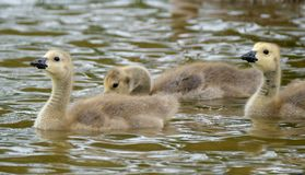Гусята гусынь Канады на озере свежей воды Стоковые Фотографии RF