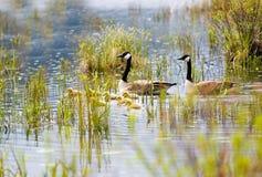 гусята гусынь Канады Стоковая Фотография