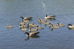 гусята гусынь Канады Стоковое Изображение RF