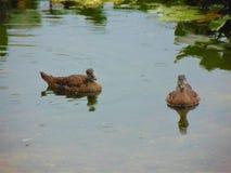 гусята Стоковая Фотография