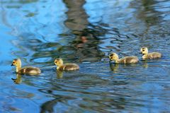 4 гусят плавая совместно на пруде Стоковое Фото