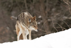 гулять снежка койота Стоковые Изображения