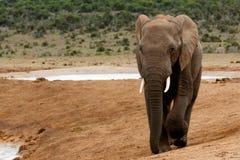 Гулять - слон Буша африканца Стоковые Изображения