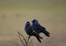 гулять monedula лужка jackdaw corvus зеленый Стоковое Изображение