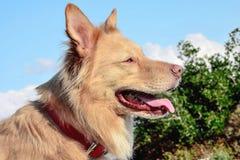 Гуляющ собака Стоковое Изображение