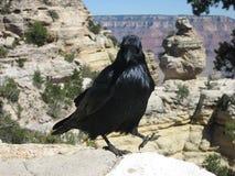 Гуляя ворона Стоковое фото RF