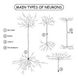 4 главных типа нейронов на белизне Стоковые Изображения