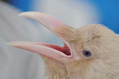 Глаза ворона стоковые фотографии rf