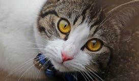 Глаза вполне кота влюбленности Стоковое фото RF