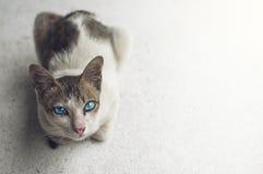 глаза голубого кота Стоковое Изображение