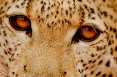Глаза леопарда Стоковое фото RF