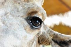 Глаза закрывают вверх жирафа Стоковое Изображение
