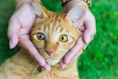 Глаза кота с женскими руками на лужайке используя обои или предпосылке для животных работают Стоковая Фотография