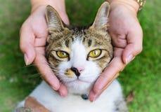 Глаза кота с женскими руками на лужайке используя обои или предпосылке для животных работают Стоковые Фото