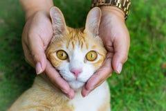 Глаза кота с женскими руками на лужайке используя обои или предпосылке для животных работают Стоковые Фотографии RF