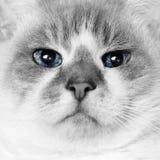Глаза кота Стоковая Фотография RF