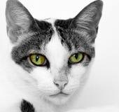 Глаза охотника кота Стоковые Фотографии RF