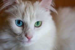 глаза покрашенные котом различные стоковое изображение