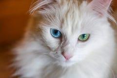 глаза покрашенные котом различные стоковая фотография