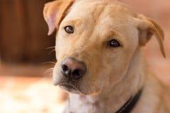 Глаза скорбы собаки Стоковая Фотография RF