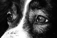 Глаза собаки Стоковое фото RF