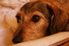 Глаза собаки Стоковая Фотография RF