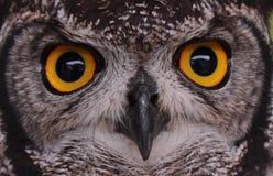Глаза сыча Стоковое Изображение RF