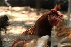 Глаза цыпленка Стоковое Изображение RF