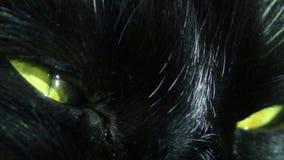 Глаза черного кота сток-видео