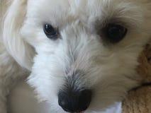 Глаза щенка яркие Стоковое фото RF