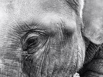 Глаза chitwan Стоковые Изображения RF