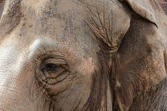 Глаз азиатского слона Стоковые Изображения