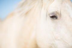 Глаз белой лошади Стоковое фото RF
