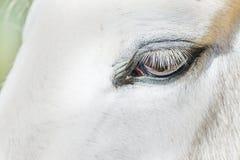 Глаз белой лошади Стоковые Фото