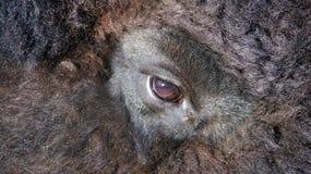 Глаз бизона Стоковое Изображение