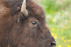Глаз буйвола в национальном парке Йеллоустона Стоковая Фотография RF