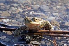 Глаз жабы Стоковая Фотография RF