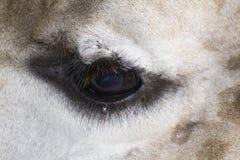 Глаз жирафа Стоковые Изображения