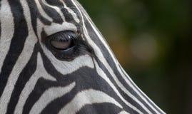 Глаз зебры Стоковая Фотография RF