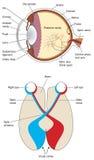 Глаз и зрительная зона коры головного мозга Стоковое Изображение